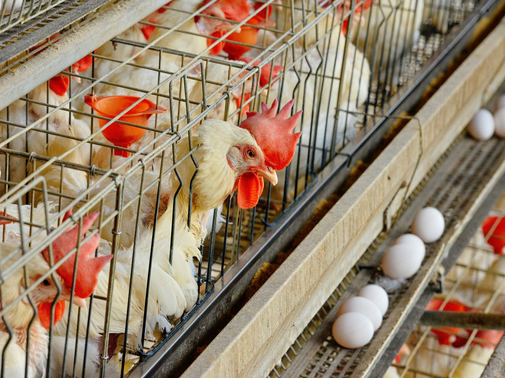 Feed Products –Layer feed for Chicken